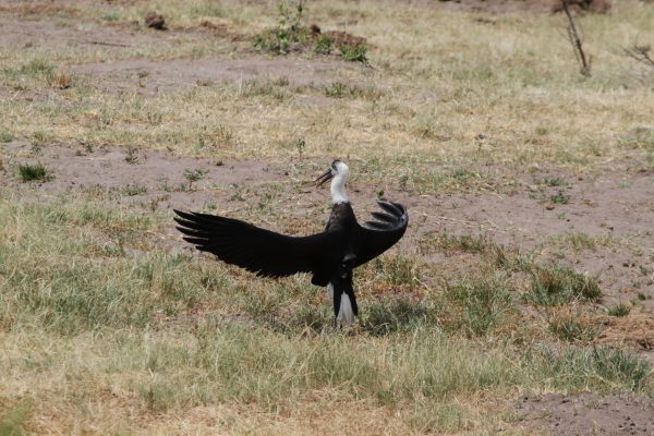 vulture on safari
